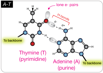 Nucleic acids adenine and thymine share a pair of h bonds and guanine cytosine pairs share three bonds these are the only base pairs that ever occur in dna a t and g c ccuart Images